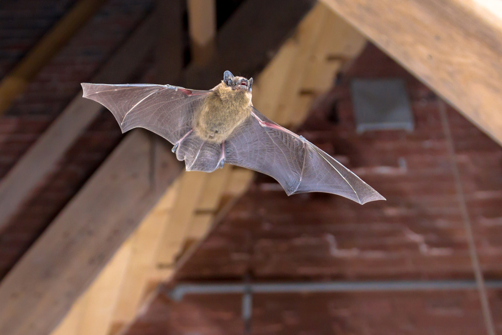 bat in the house