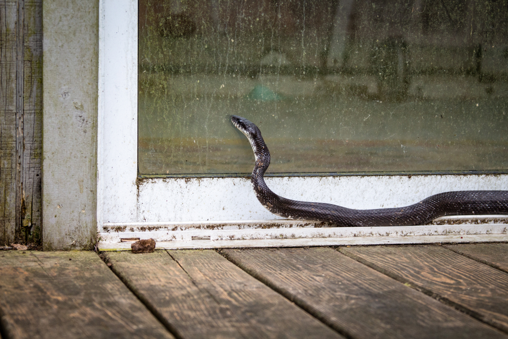snake trying to get indoors