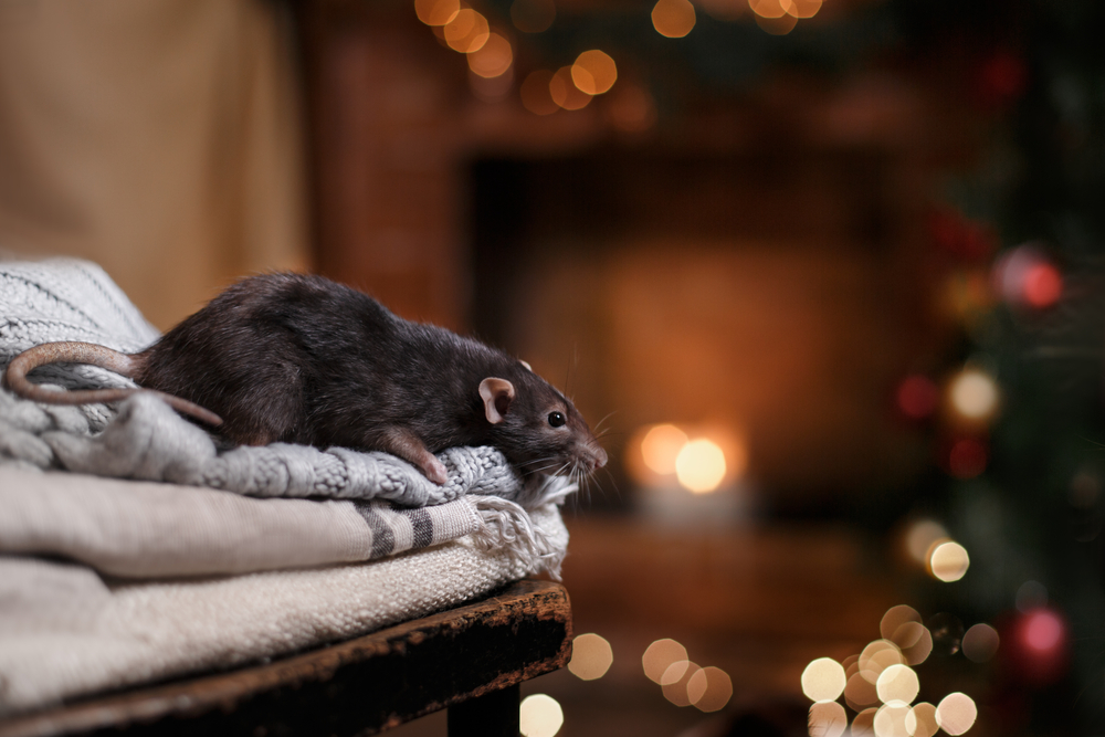 rodent in house during the winter