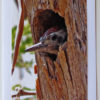 Baby Ladder-Backed Woodpecker Greeting Card