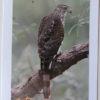 Cooper's Hawk Bird Greeting Card