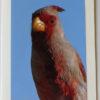 Pyrrhuloxia Bird Greeting Card