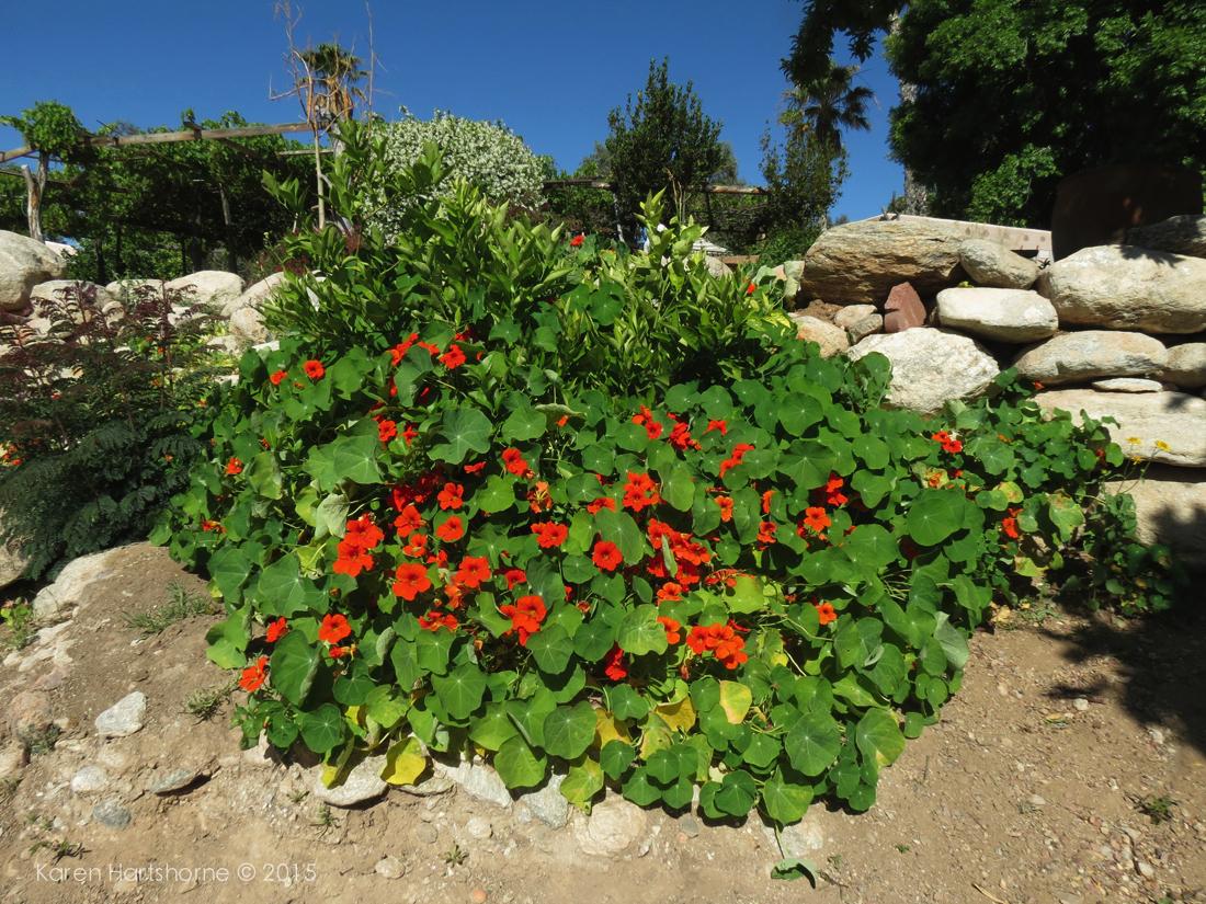 Nasturtiums in a Chef's Garden ~ Tucson, Arizona