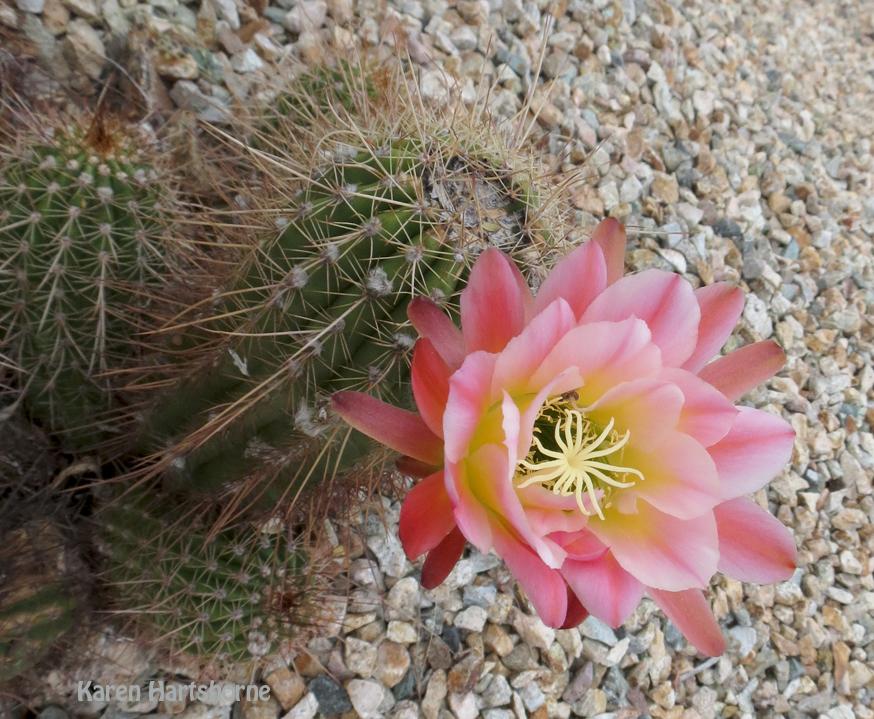 Cactus Flower Boom