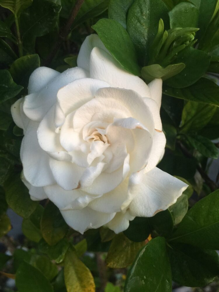 Gardenias blooming here in Cape Coral – September