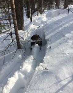 Même Veeki le chien aide pour faire les sucres... grosse journée dans la neige molle!