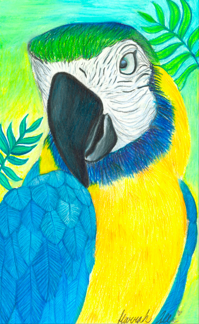 Blue Cape Macaw HMA