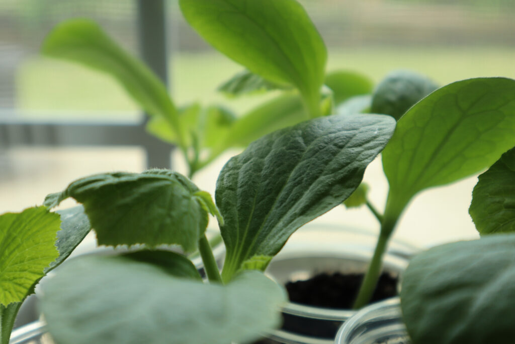 Baby Squash Plants in a Sunny Window