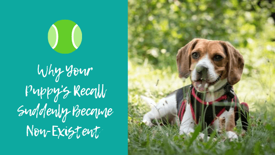 Why your puppy's recall suddenly become non-existent