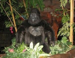 Gorillas in the Rainforest Cafe