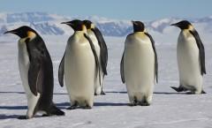 La marche de l'empereur (A Marcha dos Pinguins) - 2005