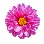 Beautiful Pink Dahlia Flower with Yellow Center Isolated on White Background