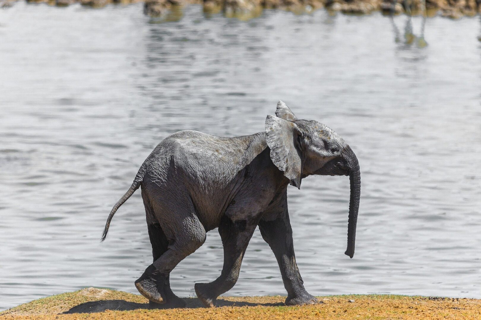 Baby Elephant walking by the water
