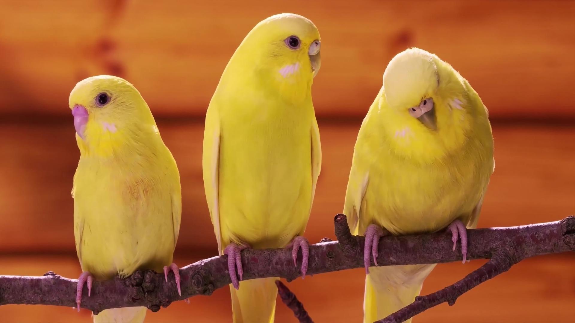 3 Yellow Canary Birds on a twig