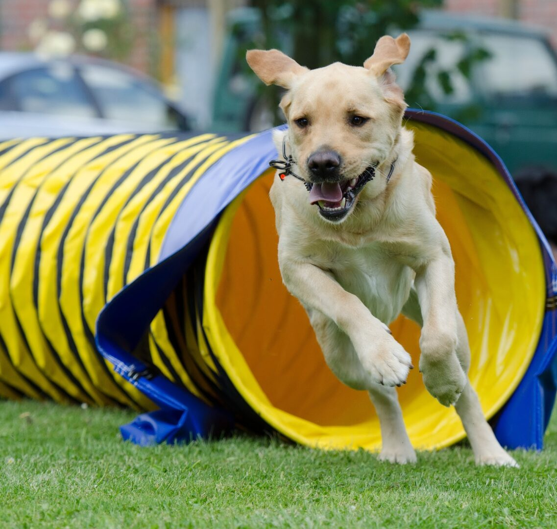 Dog running through agility course