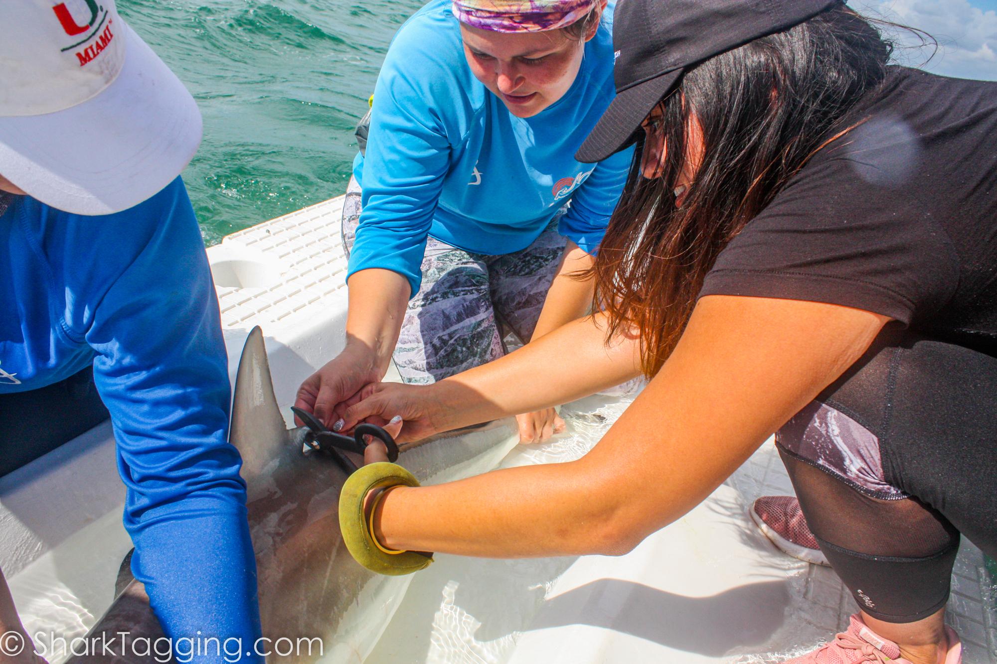 Doer Estrella clipping a shark for research| Photo Credit: @sharktagging.com