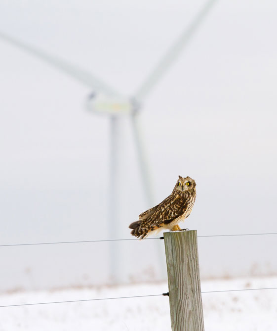 Short-eared owls are endangered in Pennsylvania, but have to share its habitat with industrial wind turbines.
