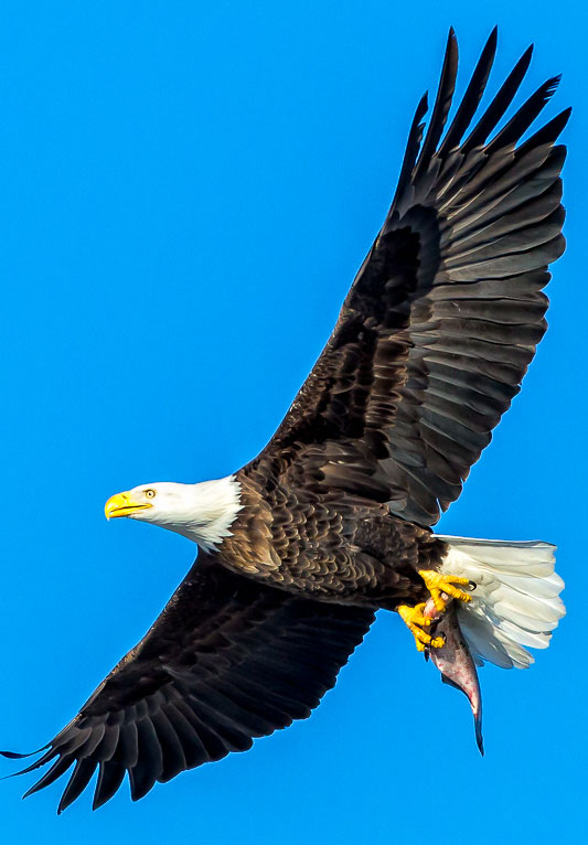 Bald Eagles are protected under state and federal laws, but are no longer on the state's threatened species list due to its abundance