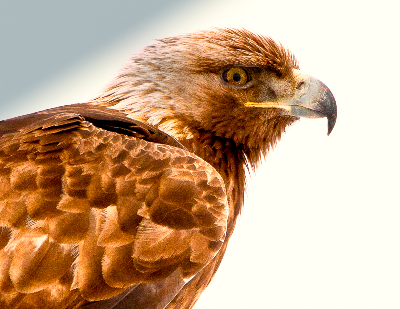 Portrait of a Golden Eagle.  Golden Eagles do not nest in Pennsylvania.