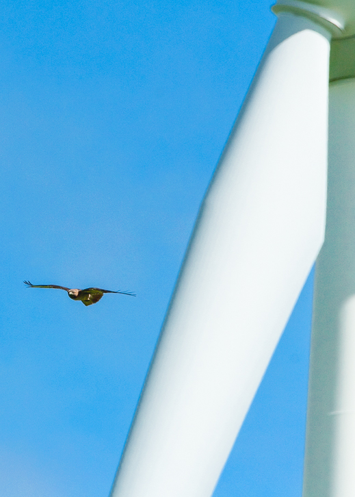 Industrial wind turbines of all sizes kill significant numbers of raptors, like this western Golden Eagle, when they are flying low over the ground searching for prey.