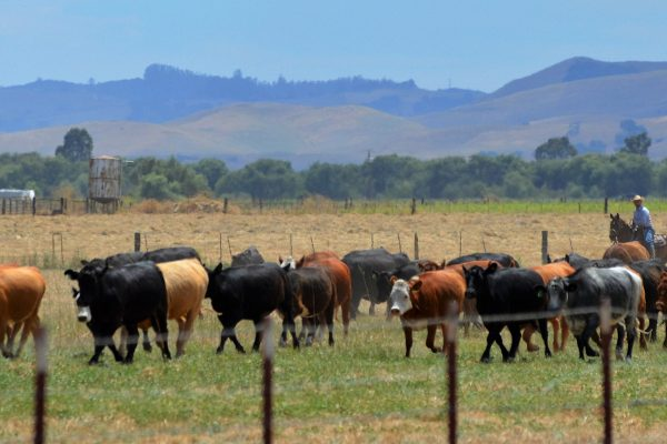 Cattle on pasture at Gilroy