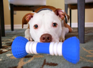 Pit Bull with GoBone smart dog bone toy