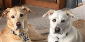 Scout and Ripley labrador retrievers