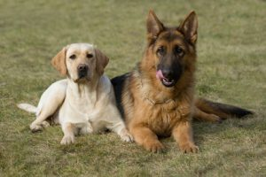 german shepherd and labrador retriever