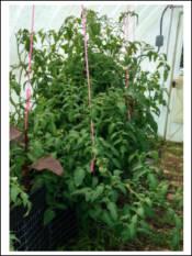 One tomato plant gone wild!