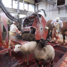 New Free-Range Slaughterhouse Allows Livestock To Roam Freely On Killing Floor