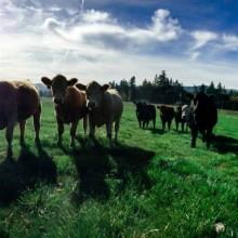 Cow Funding. Crowd Funding