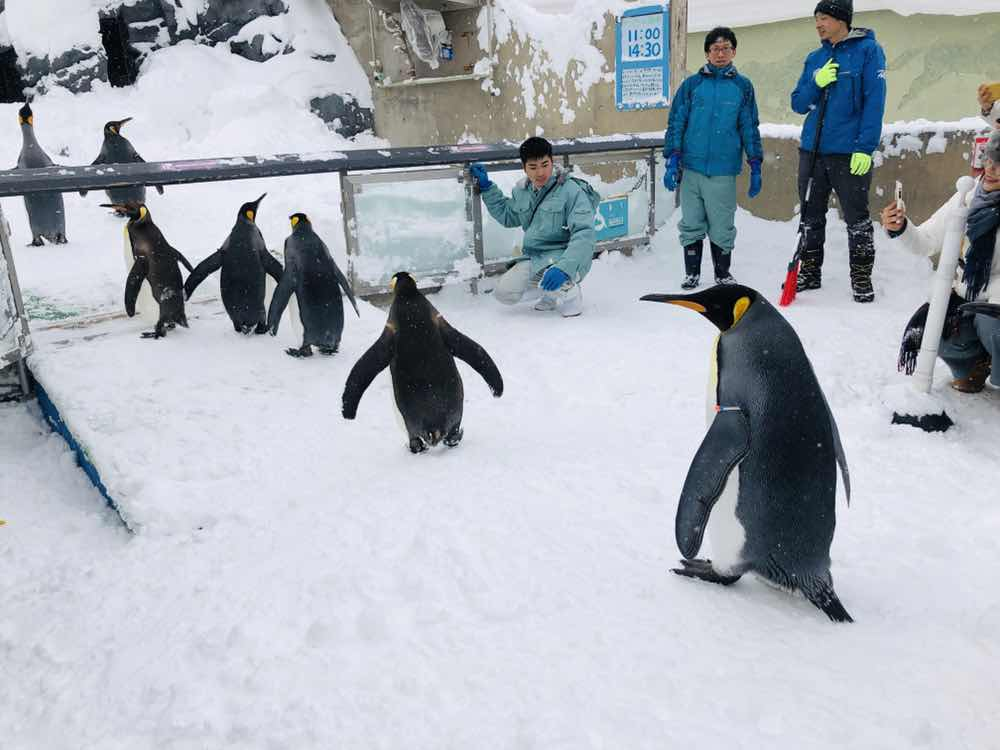 北海道||旭川||-動物園陪企鵝散步