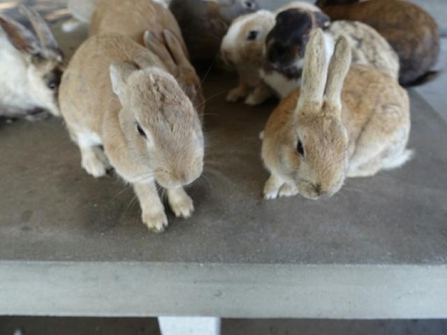 日本  廣島  竹原-大久野島/滿滿兔子的大平台。