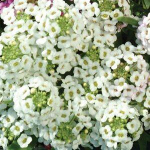 Alyssum-Easter-Bonnet-White
