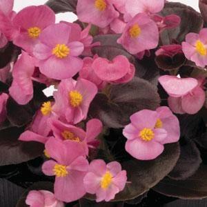 Begonia-Dark-Leaf-Pink