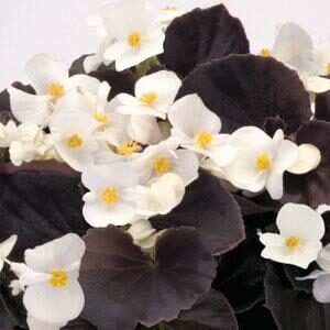 Begonia-Dark-Leaf-White