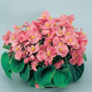 Begonia-Green-Leaf-Pink
