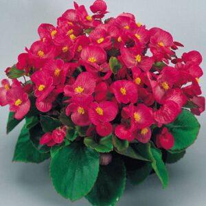 Begonia-Green-Leaf-Rose