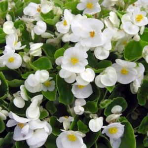 Begonia-Green-Leaf-White