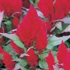 Celosia-Red