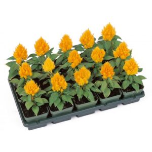 Celosia-Yellow