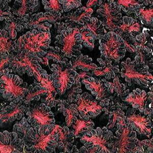 Coleus-Black-Dragon