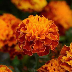Marigold-Hot-Pak-Flame