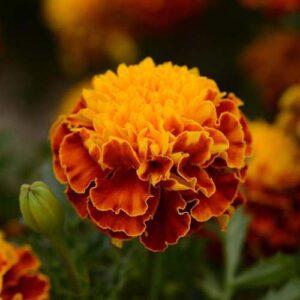 Marigold-Hot-Pak-Harmony