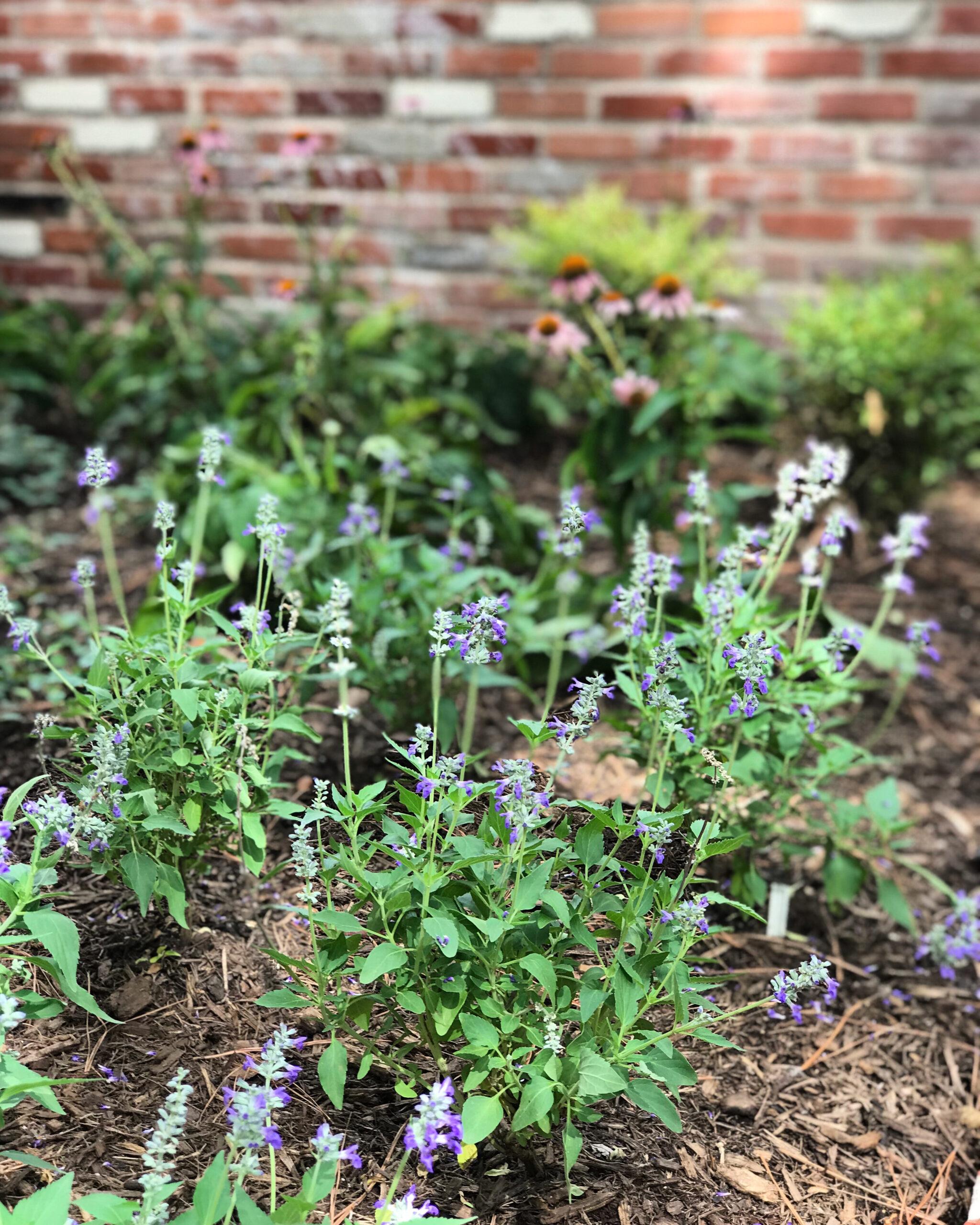 butterfly garden, houston butterfly garden, texas natives garden, texas butterfly garden, houston perennials,