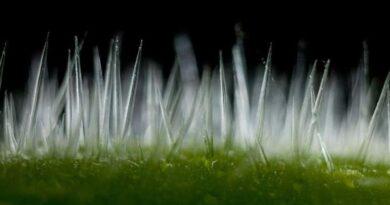 Cây 'TỬ THẦN' ở Úc: Các lông tơ có những mũi kim chứa đầy độc tố