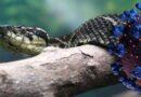 Phát hiện chất trong nọc độc rắn khổng lồ có thể trị COVID-19