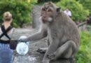 Không còn du khách cho đồ ăn, khỉ đói đột nhập nhà dân Bali