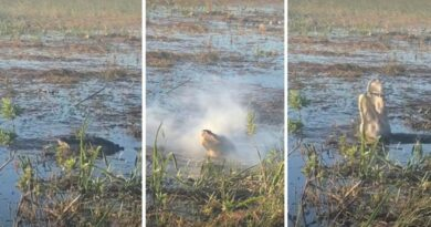 Cá sấu cắn rơi máy bay không người lái và khiến nó bốc khói