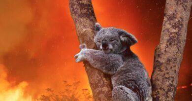 Giới khoa học Úc cảnh báo nguy cơ tuyệt chủng loài koala